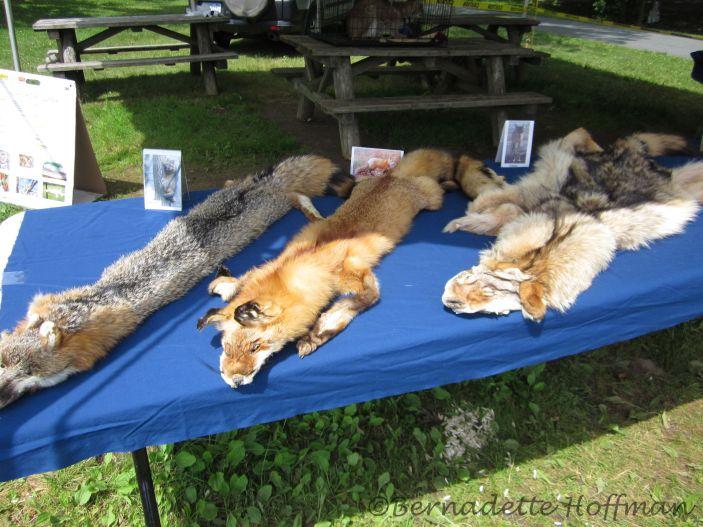 Grey Fox, Red Fox, Coyote