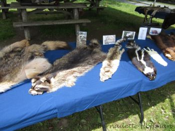 Raccoon, Ringtail, Skunk, Ermine