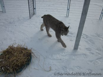 Max pacing as I clean the hay in his corner