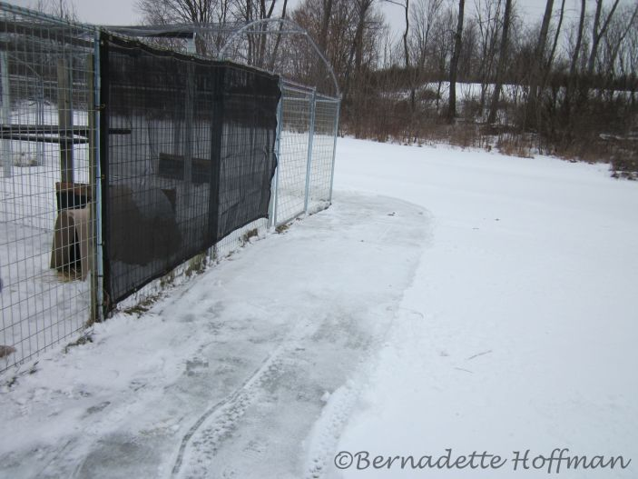 Snowblow clearing around the outside of his enclosure