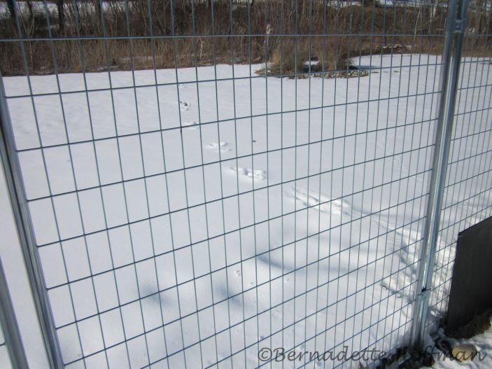 Tracks heading to Max's fence