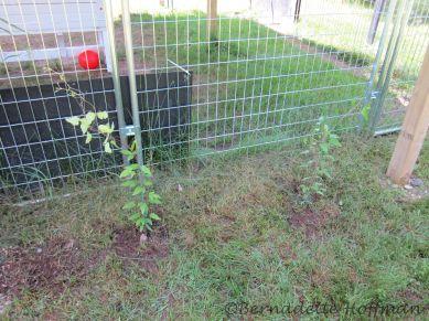 2 Clematis plants outside Max's enclosure