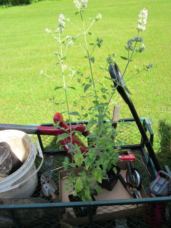 2 Catnip plants for Max