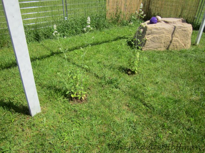 Catnip plants for Max