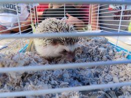 Smudge Hedgehog